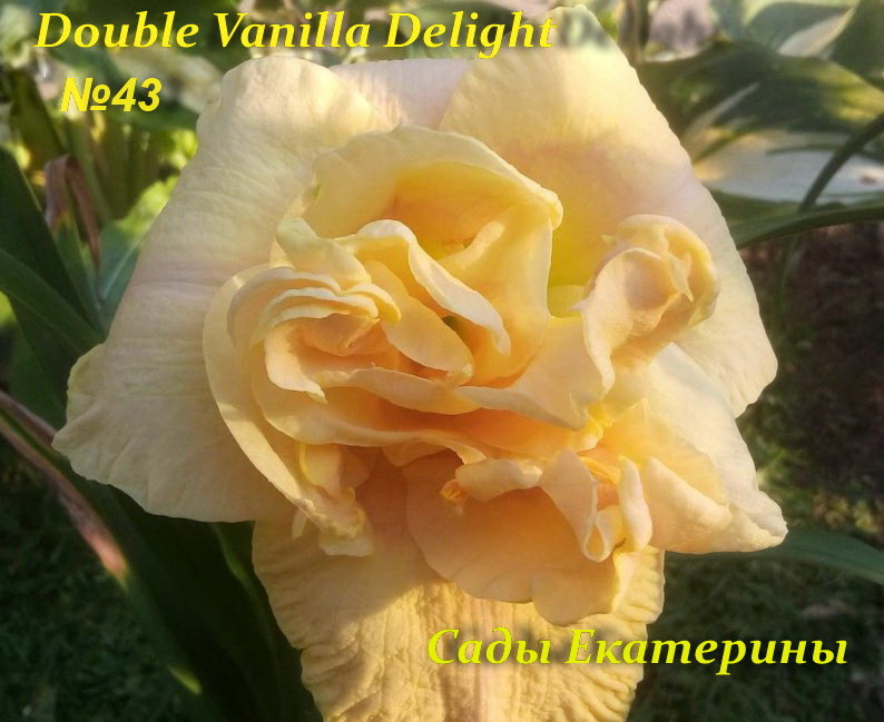 №  43  Double Vanilla Delight
