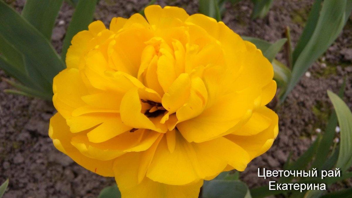 Тюльпан Yeelow Pomponette (Йеллоу Помпонет)