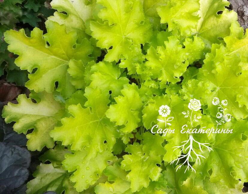 №17 Lime Ruffles (  Лайм Раффлз)