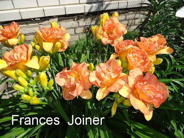 № 64  Frances Joiner ( Френсис Джойнер )