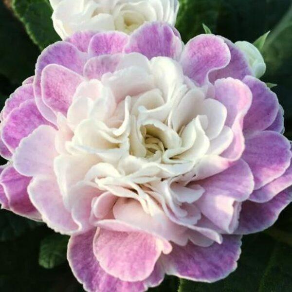 "№ 34  "" Pink ice ""   Primula Belarina"