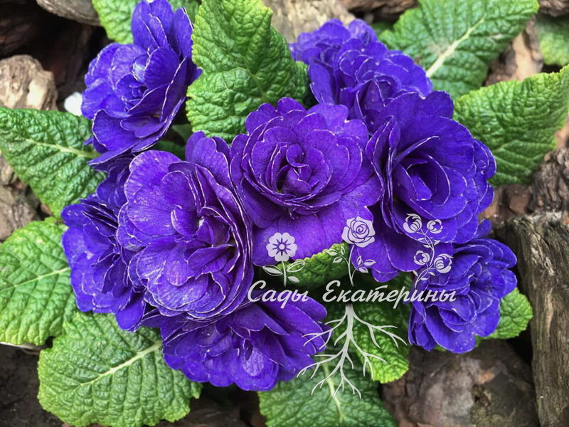 "№ 33  ""Blue Champion ""  Primula Belarina"