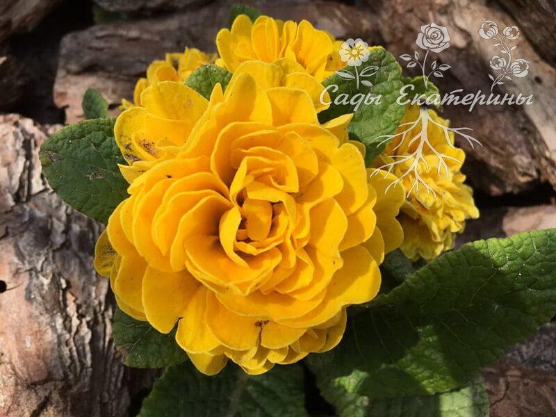 """№ 30 """" Goldie """" Primula Belarina"""