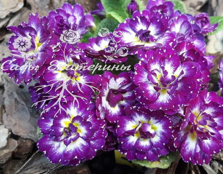 "№ 21 "" Purple Dawn ""  Primula Belarina"