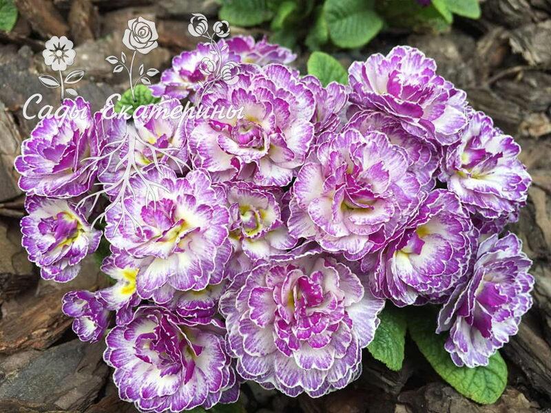 "№ 25  "" Lively Lilac "" Primula Belarina"