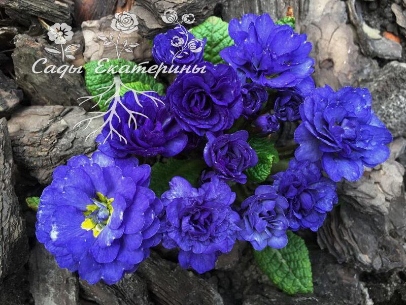 "№  27 ""Cobalt Blue""  ""Primula Belarina"
