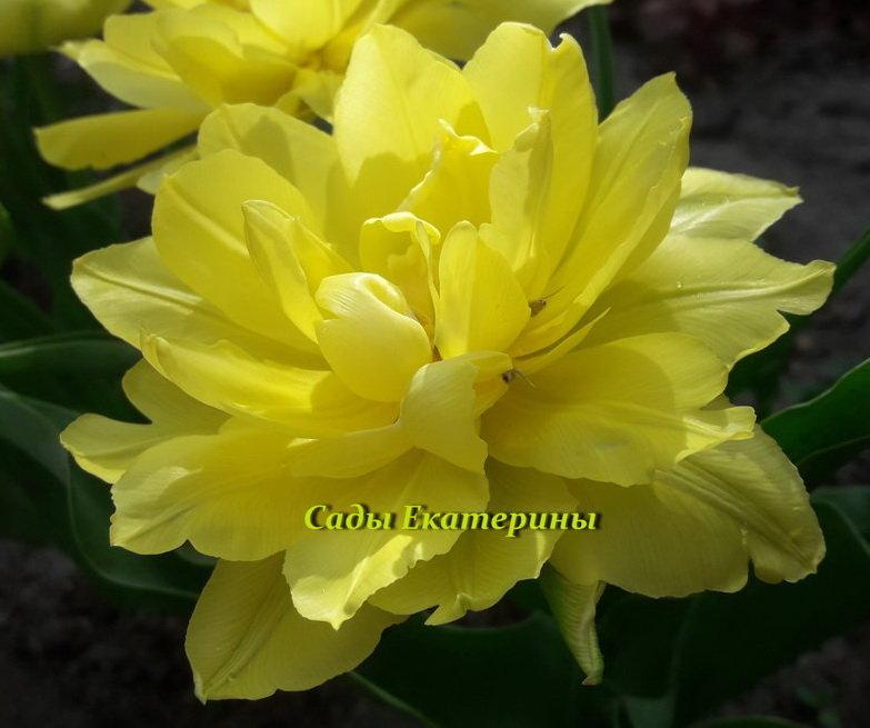 Тюльпан махровый желтый низкорослый