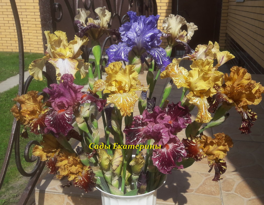 Broken Color Irises