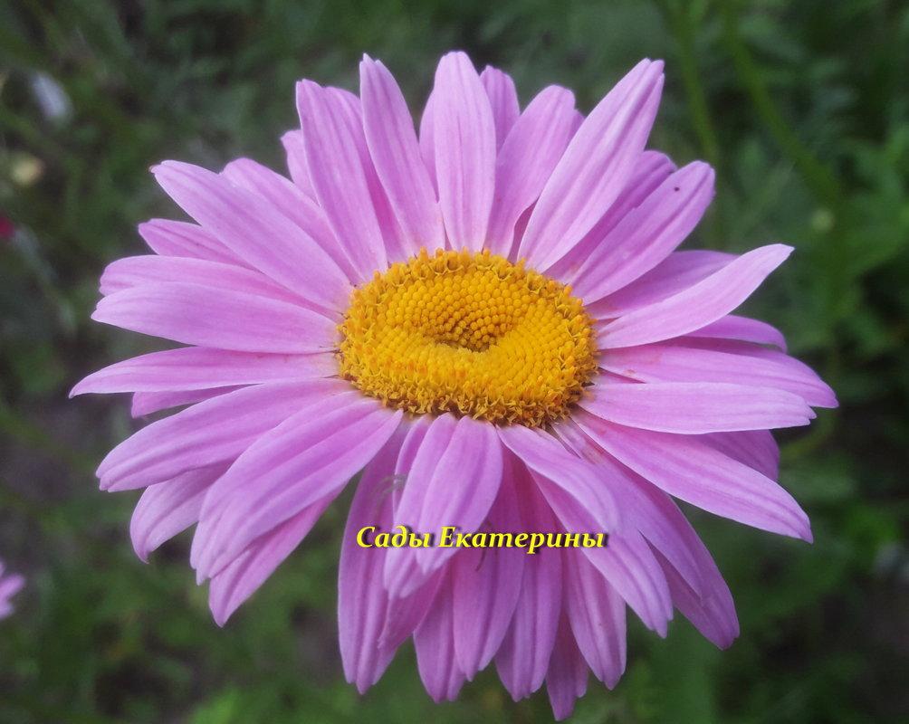 №9 Ромашка розовая ( Пиретрум)