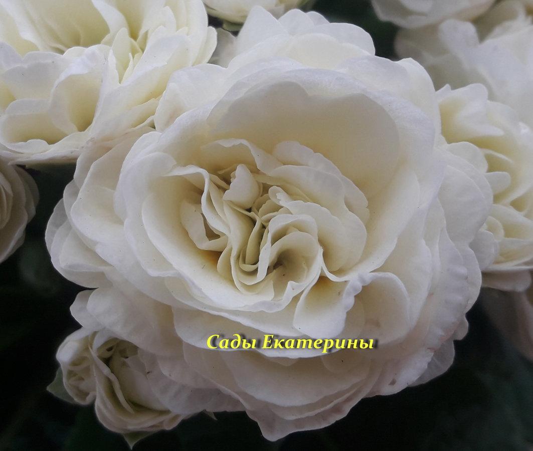 """№  29    """" Cream """"  Primula Belarina"""
