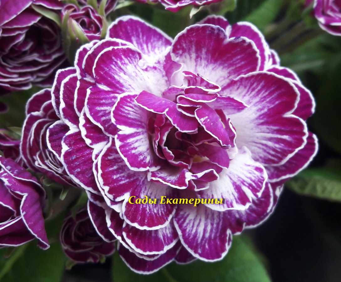 "№ 23  ""Candy Frost ""   Primula Belarina"