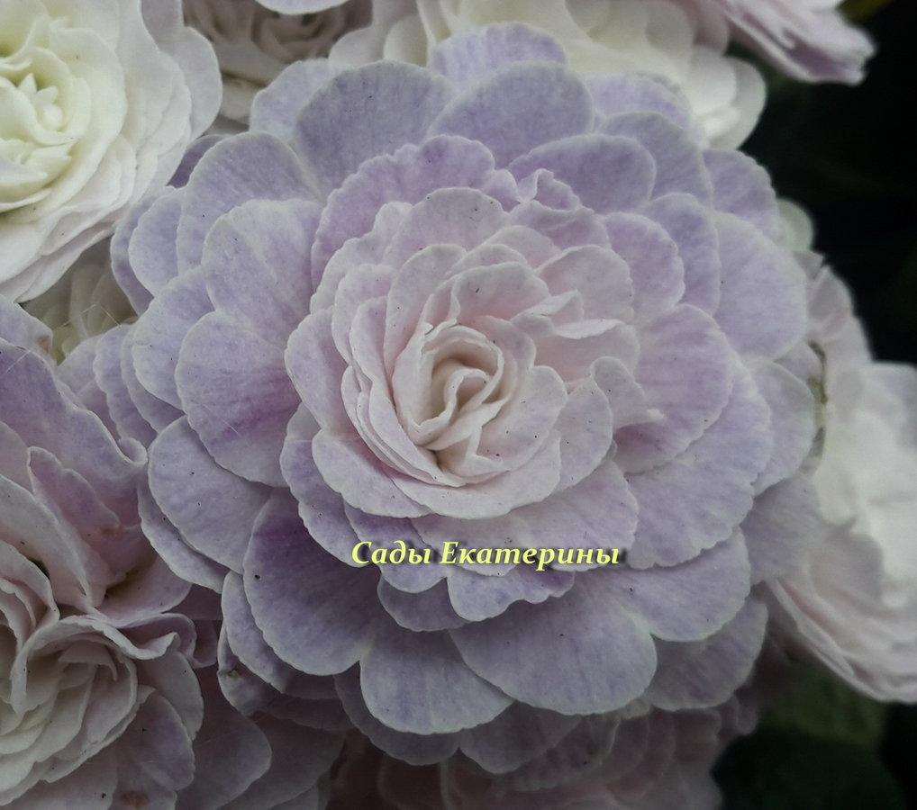"№ 26  "" Pink Champagne ""Primula Belarina"