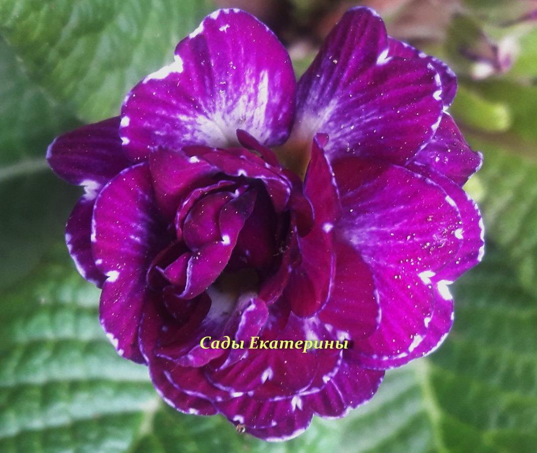 """№ 21 """" Purple Dawn """"  Primula Belarina"""