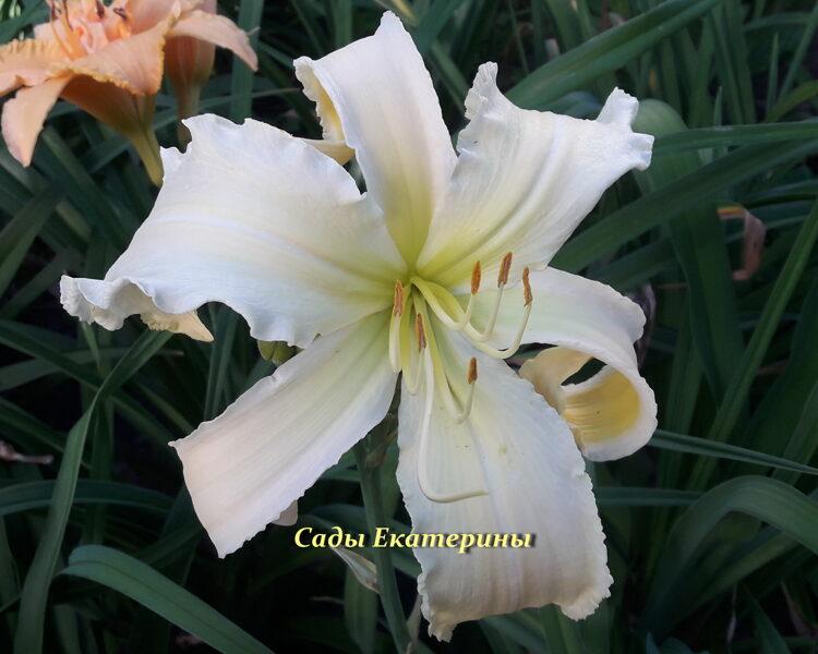 № 508  Heavenly White Lightening