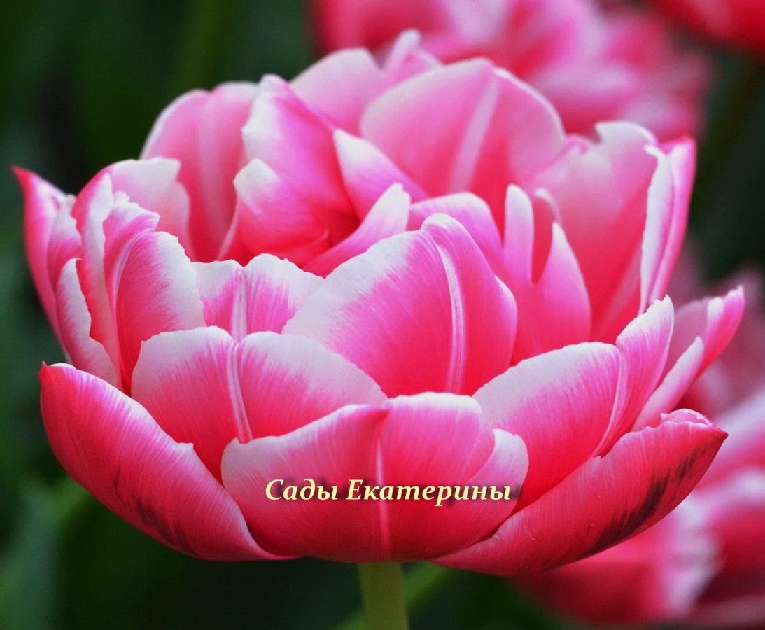№5  Тюльпан  махровый  Columbus