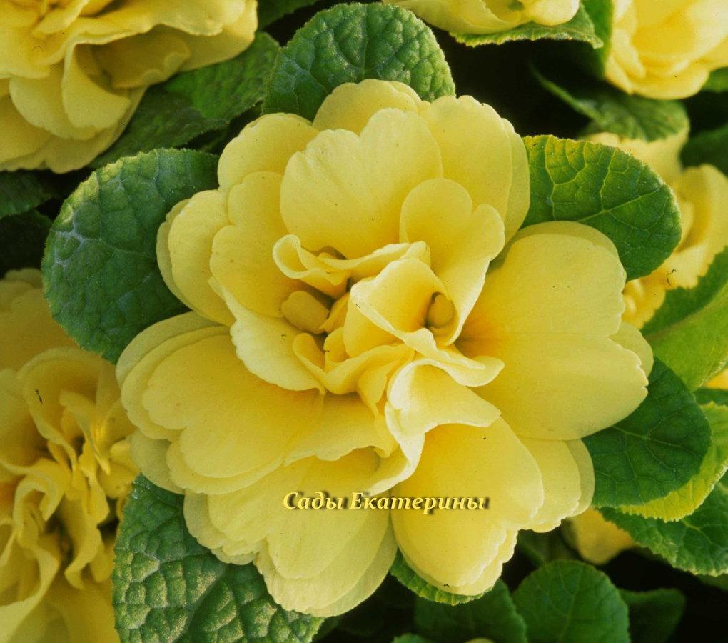 """№ 32  """" Butter Yellow"""" Primula Belarina"""