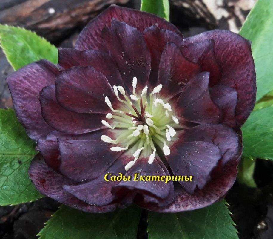 №8    Double Ellen Purple