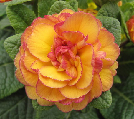 """№ 28  """" Nectarine """"  Primula Belarina"""